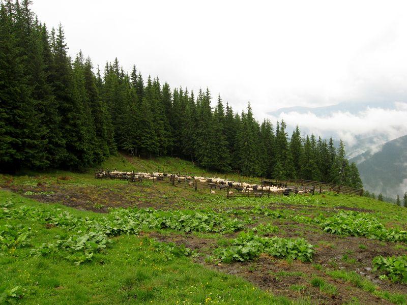 Вівці у кошарі на полонині Веснарка