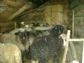 Фото 44. Вівці у притулі