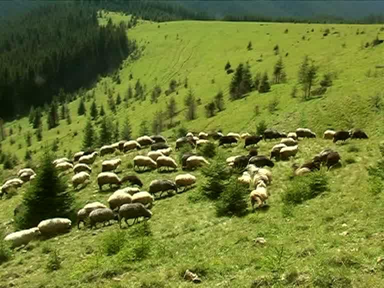 Вівці з Псарівки