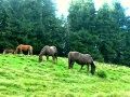 Коні ходять вільно