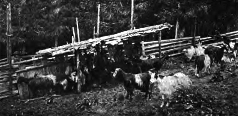 Іл.87. СТРУНКА. Доїння овець