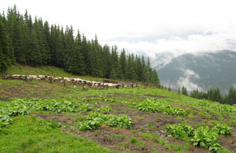 Іл.106. КОШАРА з вівцями