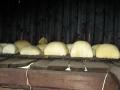 Іл.56. Полиці з сиром у стаї. Полонина Веснарка