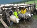 Іл.95. СТРУНКА. Доїння овець